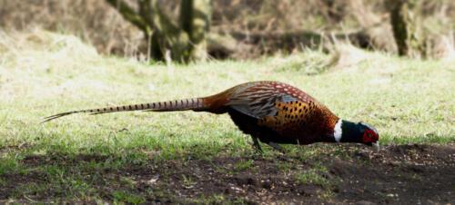 Pheasant-3