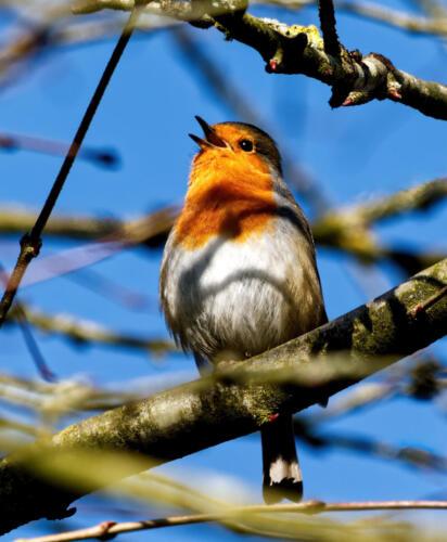Robin-Singing